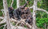 Empathie kann – muss aber nicht. Was Führungskräfte vom Affenclan lernen können