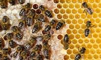 Fliegender Coronatest: Trainierte Bienen sollen Covid-19 erkennen